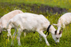 Goatling Stock Fotografie