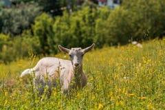 Goatling Стоковое Изображение RF