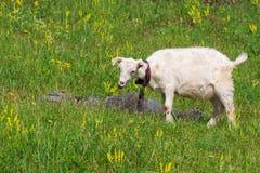 Goatling Стоковые Изображения RF