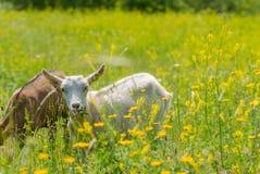 Goatling Стоковая Фотография