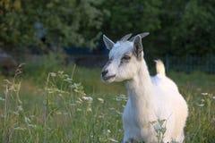 Goatling Royaltyfri Foto