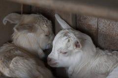 Goatling Fotografia Stock Libera da Diritti