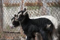 Goatling Foto de archivo libre de regalías