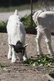 Goatling Stockfoto