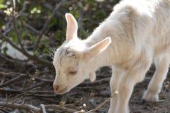 Goatling Stockfotografie
