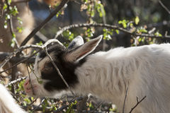 Goatling Stockbild