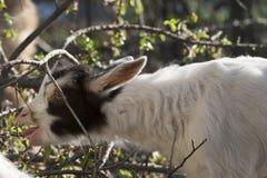 Goatling Stockbilder
