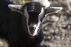 Goatling Fotografie Stock