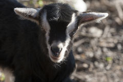 Goatling Stockfotos