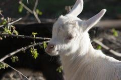 Goatling Fotografía de archivo libre de regalías