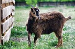 Goatling Royalty Free Stock Photography