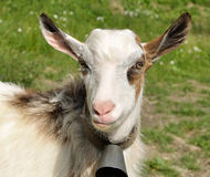 Goatling with bell on the neck Stock Photos