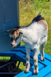 Goatling on the bench. Goatling climbed on the bench Royalty Free Stock Photos