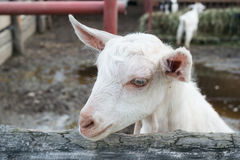 Goatling blanc Images stock