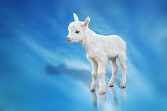 Goatling on blue background Royalty Free Stock Photography