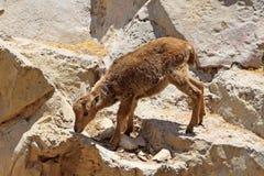 Goatling climbing on the rock. Little gray goatling climbing on the rock Royalty Free Stock Image