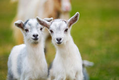 Goatling curiosity. Pair of curiosity goatlings, kids Stock Image