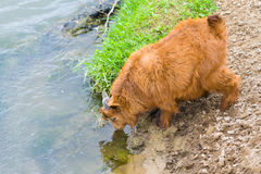 Goatling drinking water from river. Red goatling drinking water from a river royalty free stock image