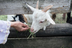 Goatling eating Royalty Free Stock Photography