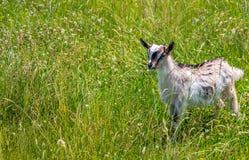 Goatling en el prado Fotografía de archivo