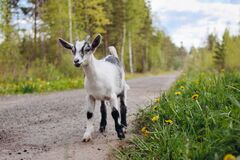 Goatling on farm. Pet on the background of village. Animal eat grass in summer. Concept of goat`s milk, cheese, wool