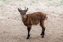 Goatling goat baby. Looking at the camera royalty free stock photos