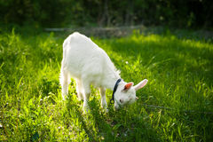 Goatling on grass Stock Photos