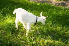 Goatling on grass Royalty Free Stock Photography