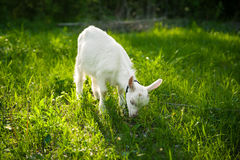 Goatling on grass Stock Photography