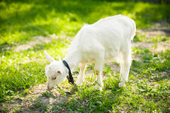 Goatling on grass Royalty Free Stock Photos