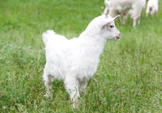 Goatling are grazing on grass in the village Royalty Free Stock Photography