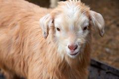 Goatling Il hircus di aegagrus della capra della capra domestica Immagine Stock