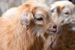 Goatling Il hircus di aegagrus della capra della capra domestica Fotografie Stock