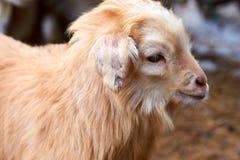 Goatling Il hircus di aegagrus della capra della capra domestica Fotografie Stock Libere da Diritti