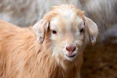 Goatling Il hircus di aegagrus della capra della capra domestica Fotografia Stock Libera da Diritti