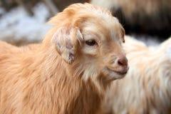 Goatling Il hircus di aegagrus della capra della capra domestica Immagine Stock Libera da Diritti