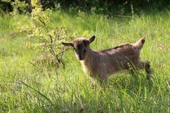 Goatling. / Little goat in the grass stock photo
