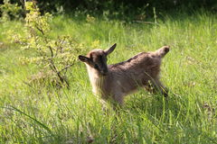 Goatling. / Little goat in the grass royalty free stock images