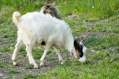 Goatling Stock Images