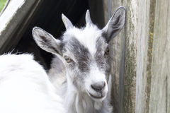 Goatling looking into the camera lens. Spotted suit. The coat is white with black Royalty Free Stock Photography