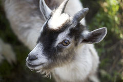 Goatling looking into the camera lens. Spotted suit. The coat is white with black. View from above Royalty Free Stock Images