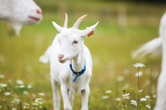 Goatling on the meadow Stock Photography