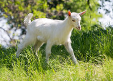 Goatling on meadow Stock Images