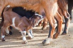 Goatling milking