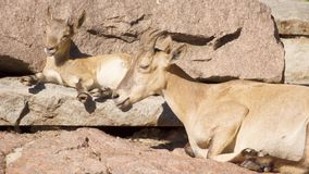 Goatling and mother goat with big horns laying on rocks in mountains. Goat family relaxing outdoors. Cute little goatling and mother goat with big horns laying stock video footage