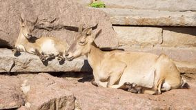 Goatling and mother goat with big horns laying on rocks in mountains. Goat family relaxing outdoors. Cute little goatling and mother goat with big horns laying stock footage
