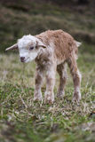 Goatling. Newborn goatling on the meadow royalty free stock photos