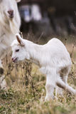 Goatling. Newborn goatling on the meadow stock images