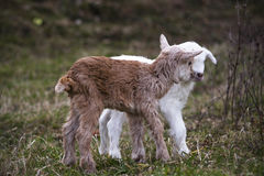 Goatling. Newborn goatling on the meadow stock image