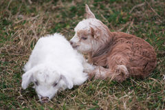 Goatling. Newborn goatling on the meadow royalty free stock images